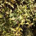 04 Hypericum grandifolium (MALFURADA)