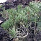 06 Kleinia neriifolia /Senecio kleinia (VERODE)