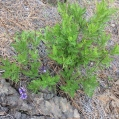 06 Lavandula canariensis 1 (MATORRISCO)