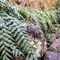 07 Woodwardia radicans (PÍJARA)