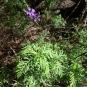 08 Lavandula canariensis 3 (MATORRISCO)