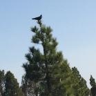09 El corb sempre a l'aguait (Foto A. Torras)