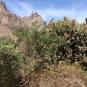 10 Opunia ficus-indica (TUNERA) (Foto A. Torras)