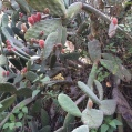 11 Opunia ficus-indica detall (TUNERA) (Foto A. Torras)