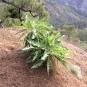 12 Sonchus congestus ssp 1 (LECHUGÓN)