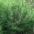 14 Spartocytisus filipes (ESCOBÓN)
