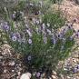 02 Foixarda1 (Globularia alypum)