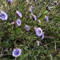 03 Foixarda2 (Globularia alypum) Foto: A. Torras