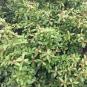 04 Marfull1 (Viburnum tinus) Foto: A. Torras