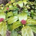 05 Marfull2 (Viburnum tinus) Foto: A. Torras