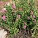 01 Centranthus ruber, HERBA DE ST JORDI