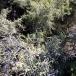 10 Rhamnus lycioides, ARÇOT