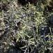 11 Rhamnus lycioides, ARÇOT 2