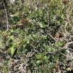 12 Pistacia lentiscus, LLENTISCLE