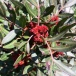 13 Pistacia lentiscus, LLENTISCLE 2