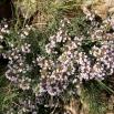 18 Thymus vulgaris, FARIGOLA
