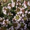 19 Thymus vulgaris, FARIGOLA 2