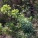24 Euphorbia characias, LLETERESA