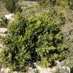 28 Buxus sempervirens L. BOIX