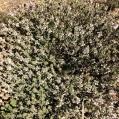 07 Farigola (Thymus vulgaris)