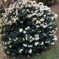08 Marfull (Viburnum tinus)