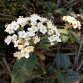 09 Marfull (Viburnum tinus) detall