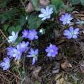 14 Viola de pastor (Anemone hepatica); de l'herba fetgera