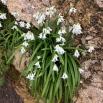 02 Allium triquetrum, ALL BLANC