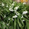 03 Allium triquetrum, ALL BLANC 2