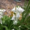 04 Allium triquetrum, ALL BLANC 3