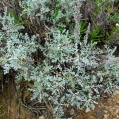 03 Artemisia gallica, DONZELL MARÍ 2