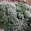 10 Astragalus tragacantha, COIXÍ DE MONJA