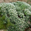 11 Astragalus tragacantha, COIXÍ DE MONJA 2
