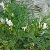 12 Astragalus tragacantha, COIXÍ DE MONJA 3 (Foto: Josep M. Nogué)