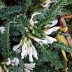 14 Astragalus tragacantha, COIXÍ DE MONJA 5