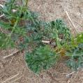 15 Echinophora spinosa (Foto: Josep M. Nogué)