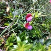 38 Lathyrus clymenum, PÈSOL BORD 2