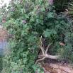39 Lavatera arborea, MALVA ARBÒRIA1