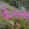 43 Mesembryanthemum espectabile (Foto: Josep M. Nogué)