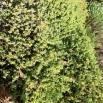 44 Mesembryanthemum espectabile 2