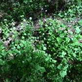 Alliaria petiolata - ALLENC