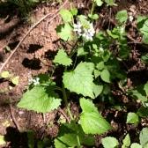 Alliaria petiolata - ALLENC2