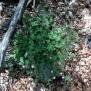 Geranium robertianum HERBA DE ST ROBERT 1