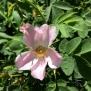 Rosa canina ROSER BORD 4