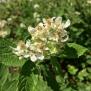 Rubus ulmifolius ESBARZER 1
