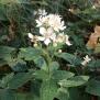 Rubus ulmifolius ESBARZER 2