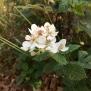 Rubus ulmifolius ESBARZER 3