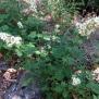 Rubus ulmifolius ESBARZER 4