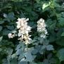 Rubus ulmifolius ESBARZER 5