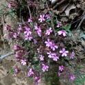 Saponaria ocymoides FALSA ALFABREGA